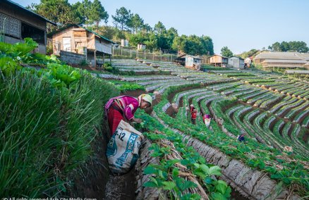 Caption: Strawberry fields at the Royal Projects, Doi Angkang