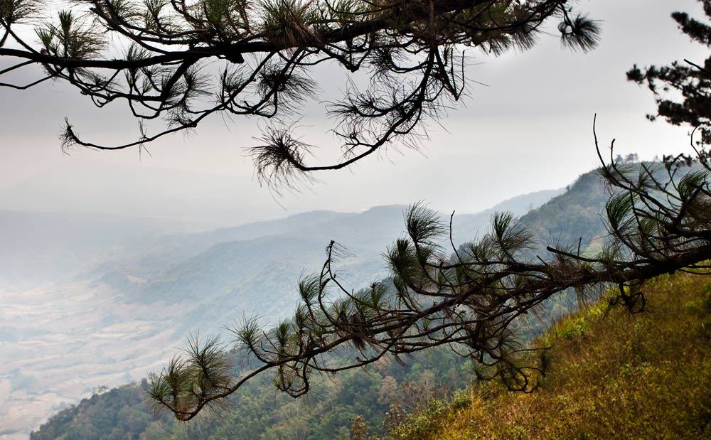 Pine trees at Phu Ruea
